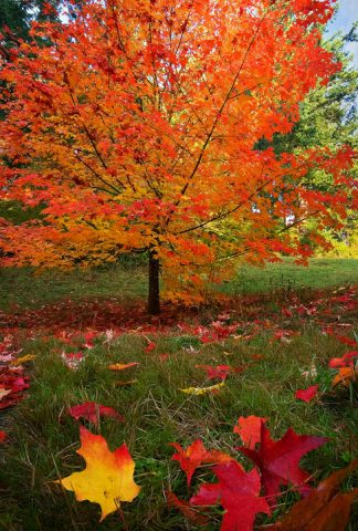 maple trees save you money